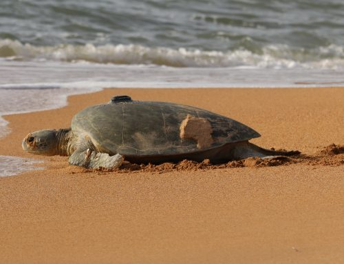 Sea Turtle Tracking and Telemetry
