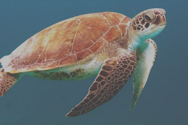 Icoteq Trackers Used to Help Save Endangered Green Sea Turtles